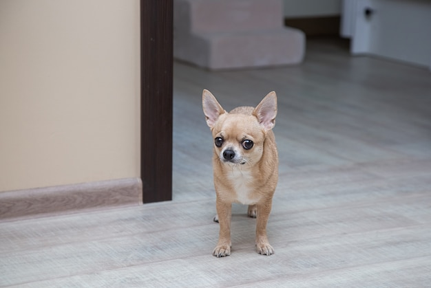 Moscow toy terrier no chão, no corredor, olhando para a câmera