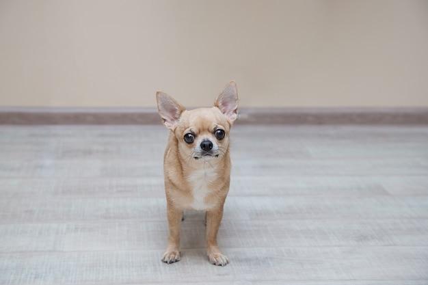Moscow toy terrier no chão, no corredor, olhando para a frente
