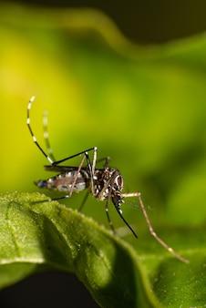 Mosquito aedes aegypti transmissor da dengue no brasil empoleirado em uma folha, macrofotografia, foco seletivo