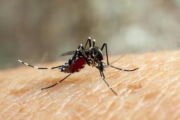 Mosquito da dengue, zika e febre chikungunya (aedes aegypti) que morde a pele humana - bebendo sangue