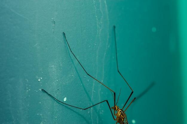 Mosquito grande sobre um fundo azul em close-up.