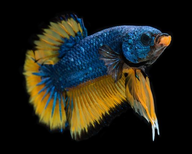 Mostarda azul fantasia koi galáxia betta peixes.