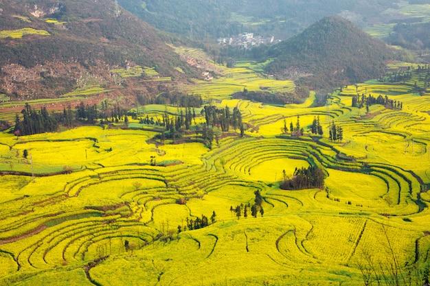 Mostarda de campo lou xiaoping, china