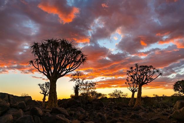 Mostre em silhueta a vista da floresta das árvores do quiver com cena crepuscular do céu do por do sol bonito do céu em keetmanshoop, namíbia.