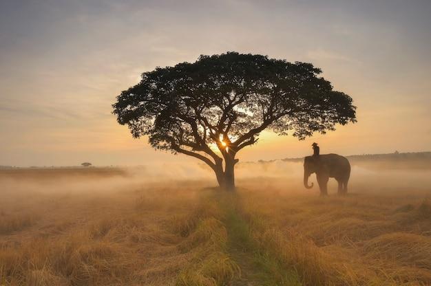 Mostre em silhueta o elefante no fundo do nascer do sol, elefante tailandês em surin tailândia.