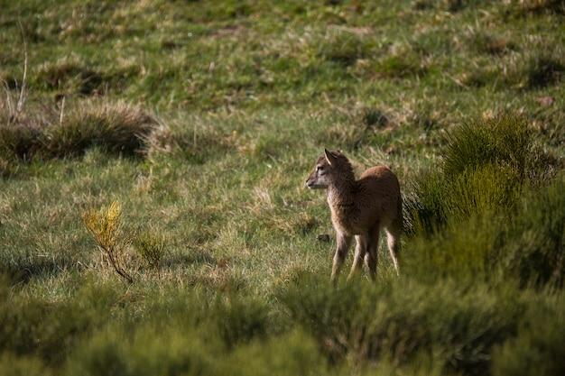 Mouflon na primavera em capcir pyrenees frança