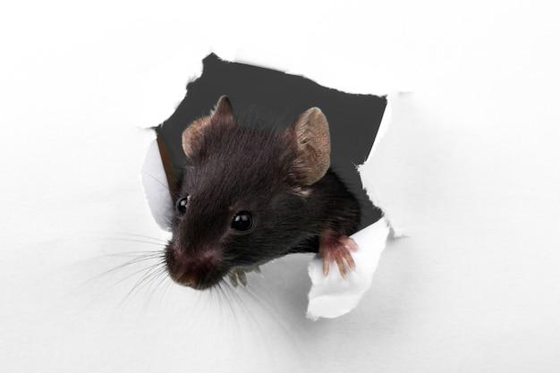 Mouse rompendo uma parede de papel