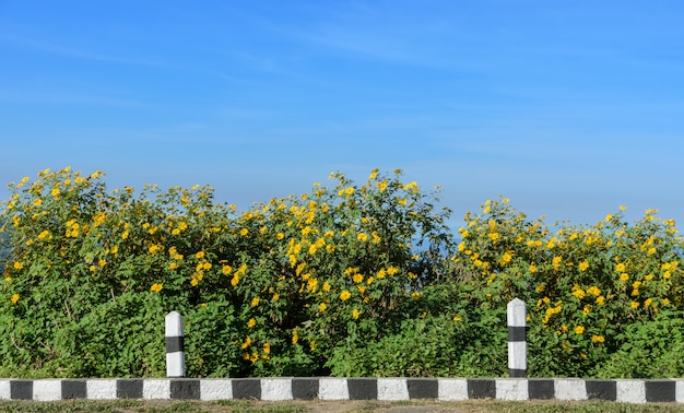 Moutain de florescência do girassol mexicano selvagem no dia ensolarado