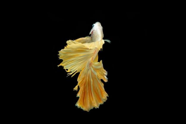 Movimento de peixes siameses betta isolados no fundo preto.
