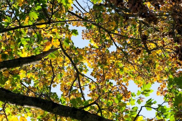 Mudando a cor da folhagem em um alto e velho bordo no outono