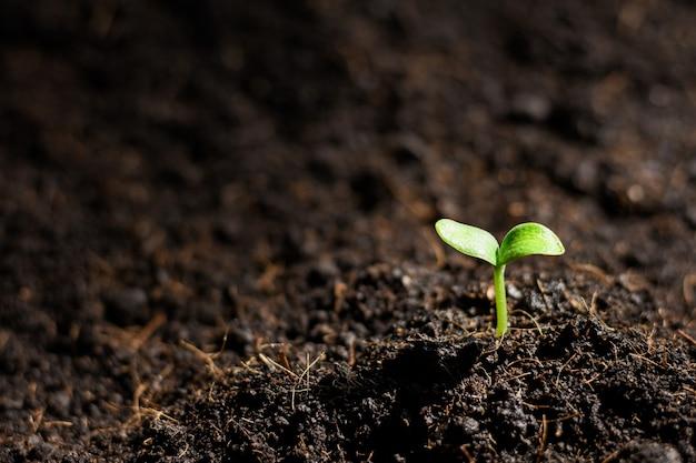 Mudas de abóbora estão crescendo a partir do solo.