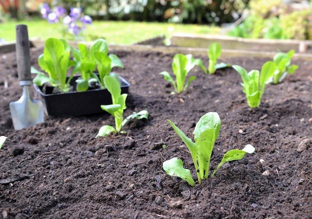 Mudas de alface crescendo no solo em um jardim quadrado com uma pá
