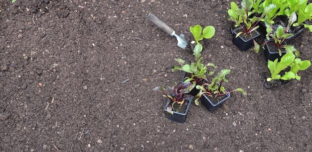 Mudas de alface e beterraba em vaso colocadas no solo em jardim com espaço de cópia