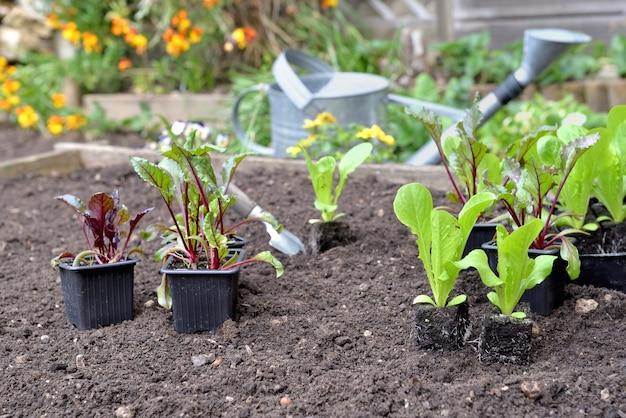 Mudas de alface e beterraba em vaso colocadas no solo em quintal quadrado para serem plantadas