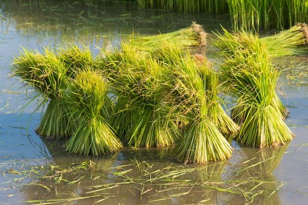 Mudas de arroz em campos de arroz