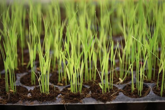 Mudas de arroz no plantio de bandejas