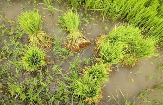 Mudas de arroz para plantar na terra cultivada preparada para o cultivo agrícola asiático