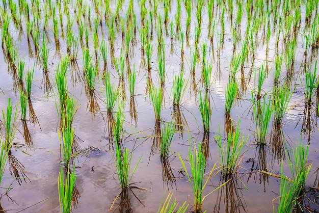 Mudas de arroz são lindamente alinhadas na água esperando para crescer.