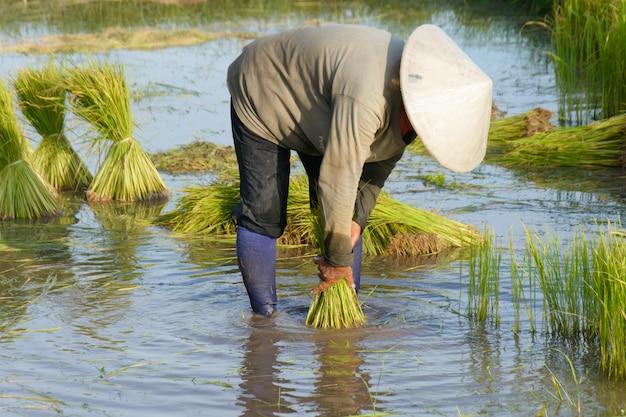 Mudas de arroz tailandês agricultor transplante na terra de campo de arroz