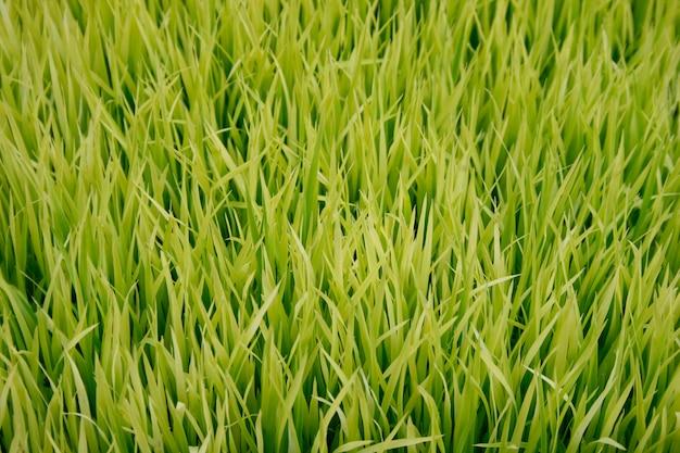 Mudas de arroz