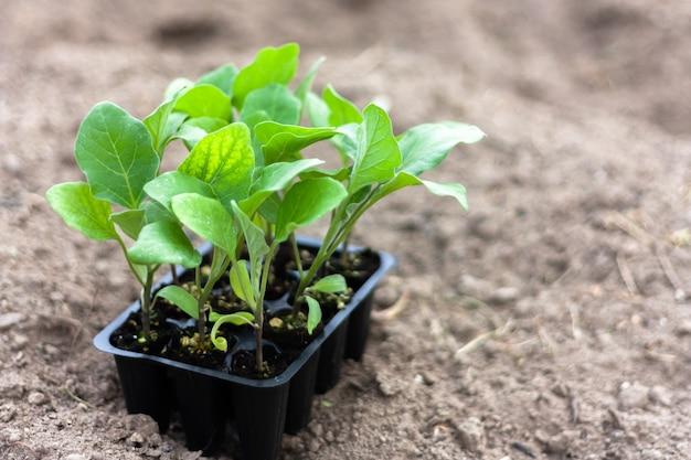 Mudas de berinjela em vasos de turfa em terreno arado. horticultura, colheita e jardinagem.