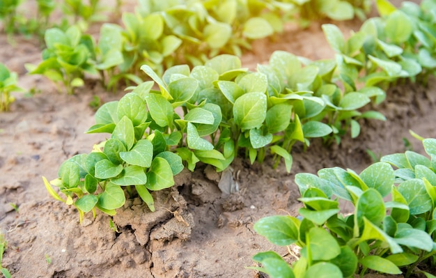 Mudas de berinjela são cultivadas na fazenda beringela
