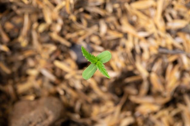 Mudas de cannabis que estão brotando em sacos de sementes