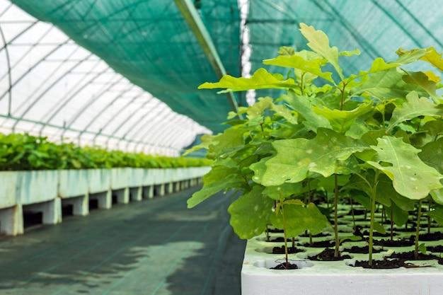 Mudas de carvalho e outras culturas florestais na estufa para o cultivo de material de plantio