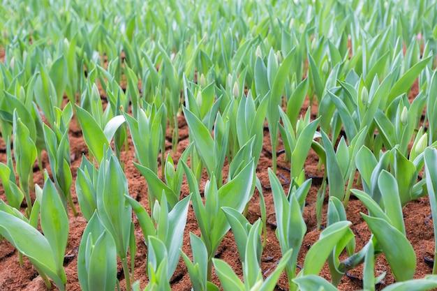 Mudas de flor de tulipa. tulipas emergentes no campo. campo de tulipas jovens.