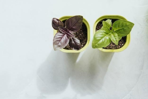 Mudas de flores em vasos de plástico verdes. manjericão de mudas. brotos de manjericão.