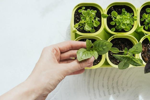 Mudas de flores em vasos de plástico verdes. manjericão de mudas. pote de plástico com um broto jovem de manjericão em uma mão feminina.
