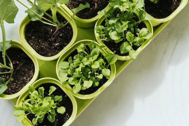 Mudas de flores em vasos de plástico verdes. mudas de lobelia. plantas jovens pela janela.