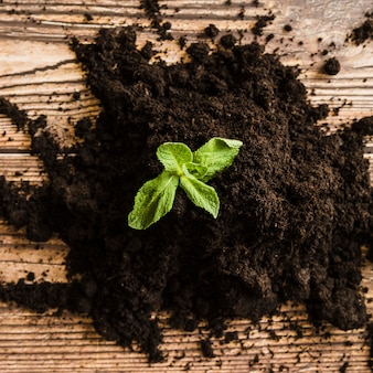 Mudas de hortelã no solo fértil na superfície de madeira
