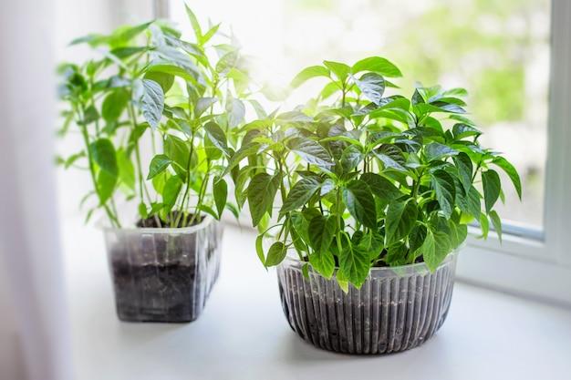 Mudas de legumes da fazenda de tomate e pimenta em uma panela estão de pé no peitoril da janela