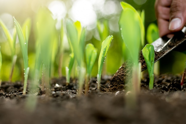 Mudas de milho estão crescendo de solo abundante.