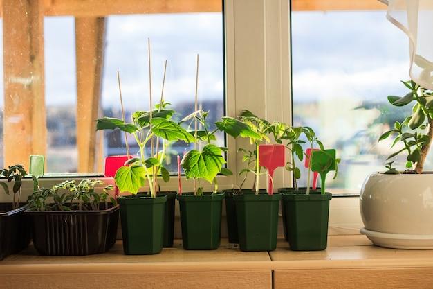 Mudas de pepino em vasos de flores no parapeito de uma janela da varanda.