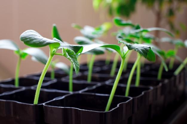 Mudas de pepinos, pequenos brotos em vasos pretos, plantas jovens verdes