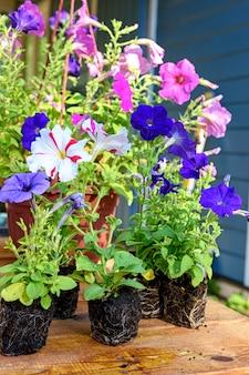 Mudas de petúnia coloridas são preparadas para o plantio em uma foto de close up de mesa de madeira com ...