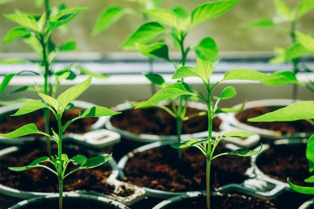 Mudas de pimenta em um solo de turfa nos copos para mudas