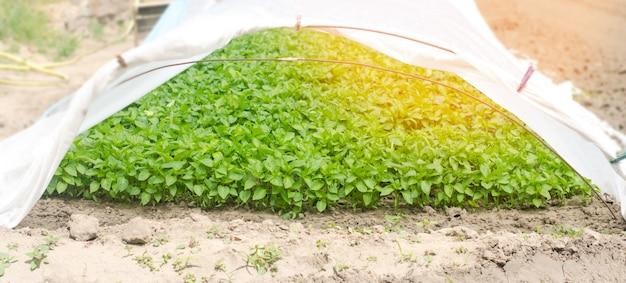 Mudas de pimenta verde na estufa, pronto para transplante no campo, agricultura, agri