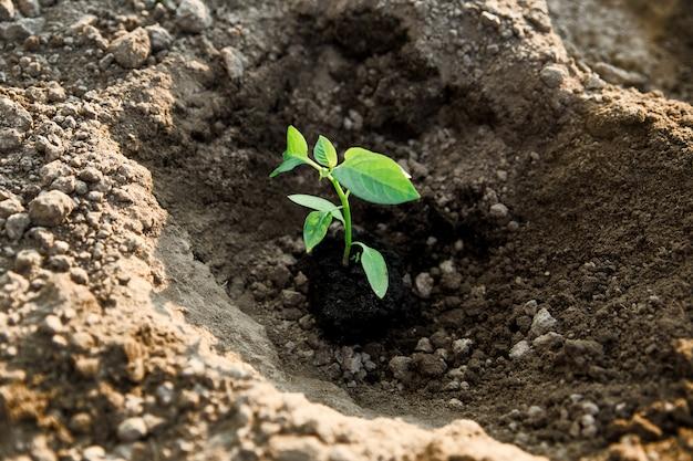 Mudas de pimentão. jardinagem. o processo de plantio de pimenta no solo