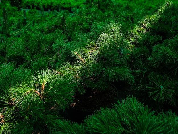 Mudas de pinheiro em vasos na janela de uma loja de jardim. um raio de sol cai sobre as agulhas de um pinheiro da montanha
