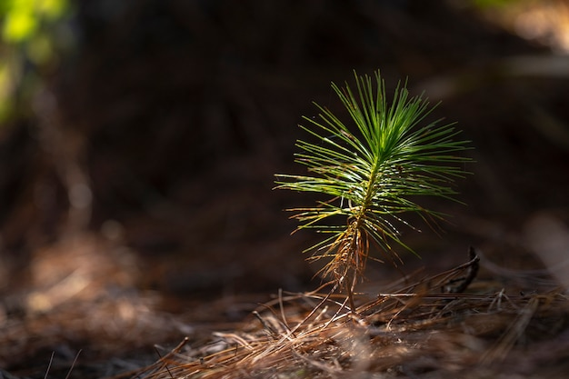 Mudas de pinheiro na sombra de grande crescimento inicial da árvore.