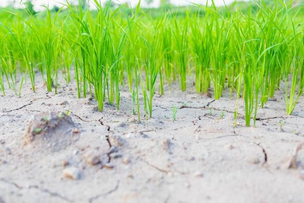 Mudas de plantas de arroz em solo árido