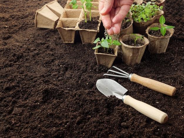 Mudas de plantas em vasos de turfa no solo são regadas com água da mão.