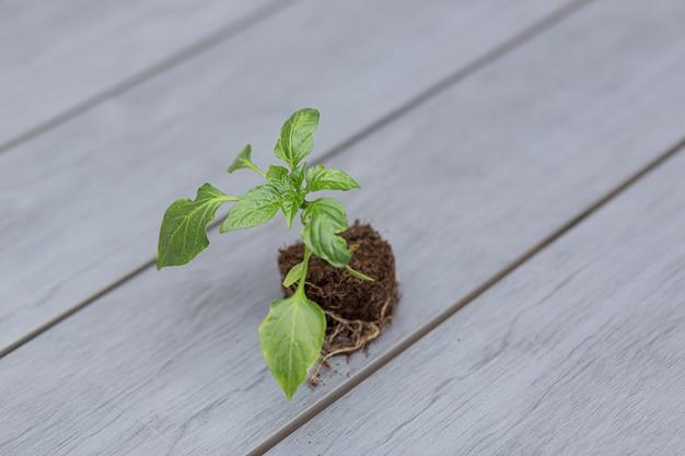 Mudas de pote de pimenta com terra em uma mesa de madeira