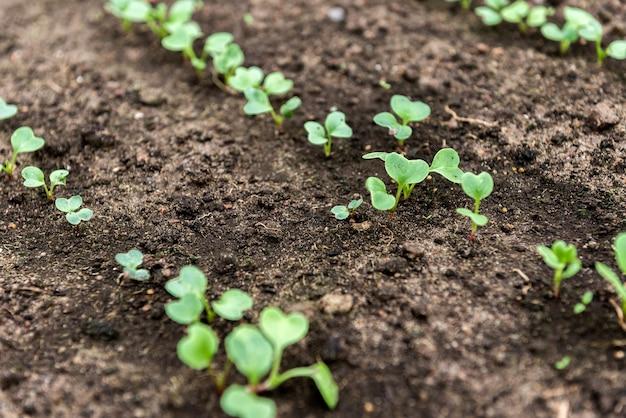 Mudas de rabanete verde pequeno em crescimento. plantio no início da primavera.