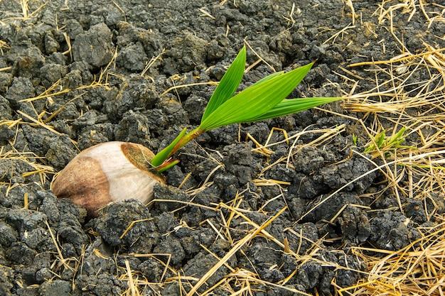 Mudas de sementes de mudas de coco plantadas.