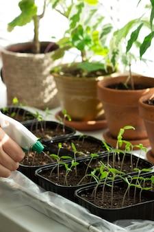 Mudas de tomate cultivadas em casa. a mulher está regando as mudas. foco seletivo.