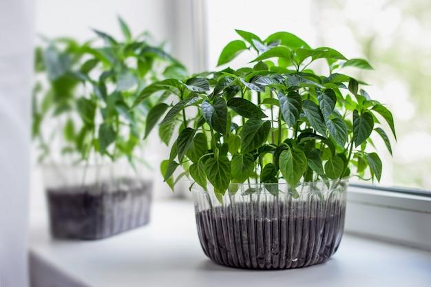 Mudas de tomate e pimenta cultivam legumes em uma panela de plástico no peitoril da janela